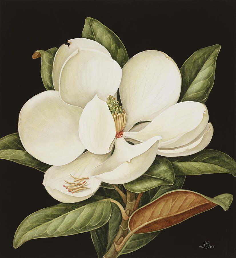 Magnolia Grandiflora By Jenny Barron Magnolia Grandiflora Painting Framed Art Prints