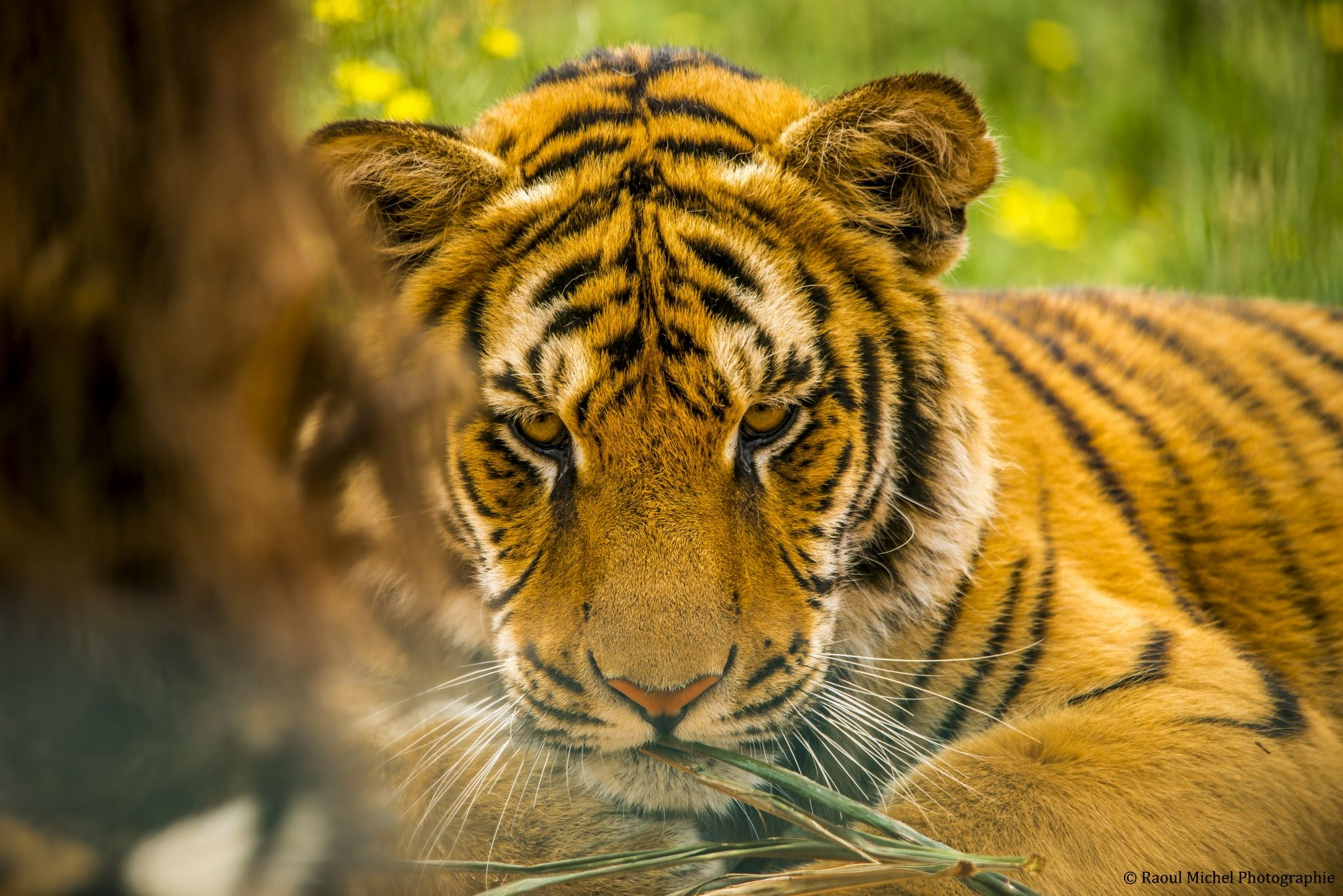 Le tigre by raoul michel photographie on px animals pinterest