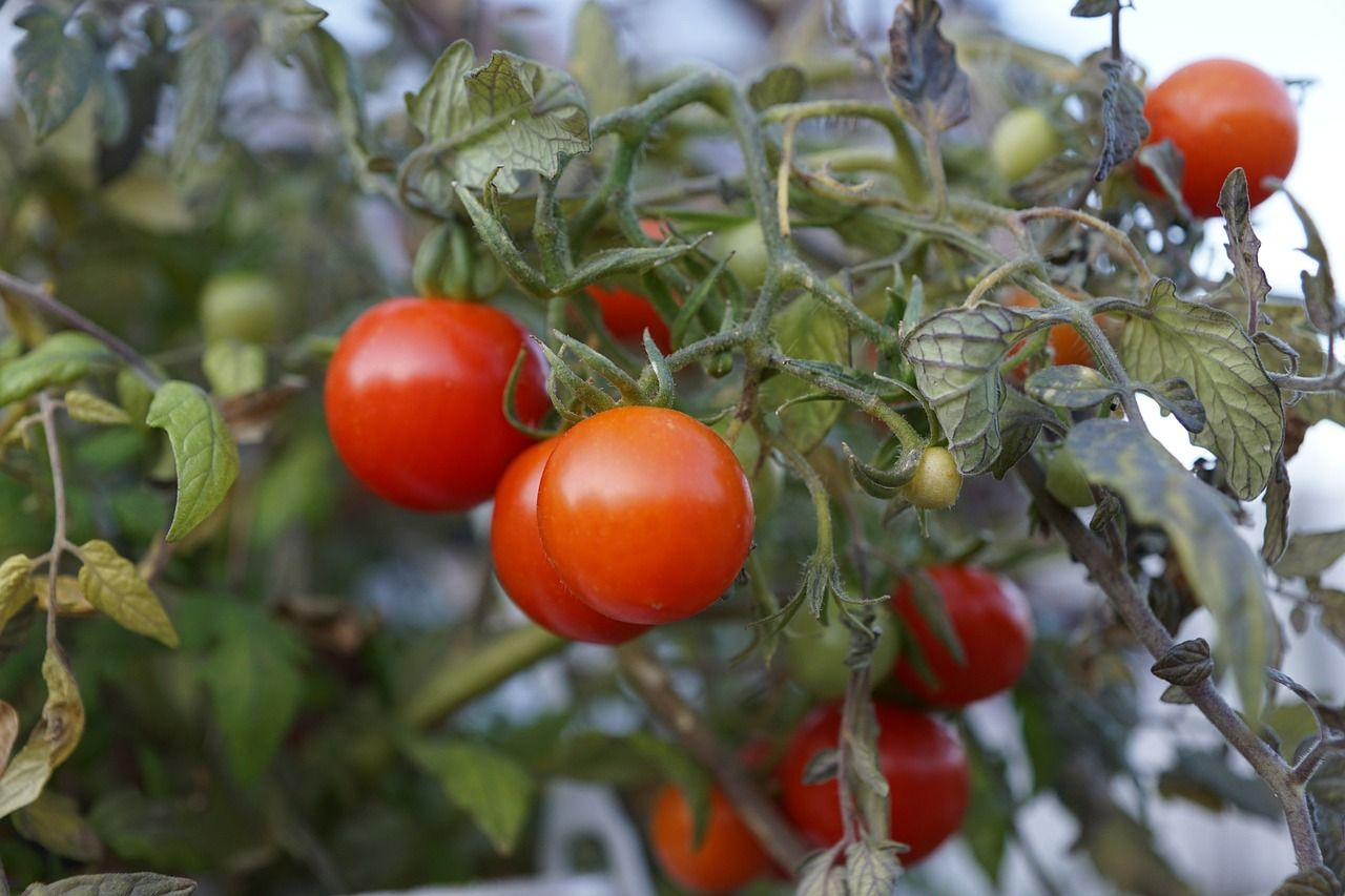 growing your tomatoes from seed allows you to access a large variety of tomatoes rather than simply having to settle for limited selections of the tomatoes.