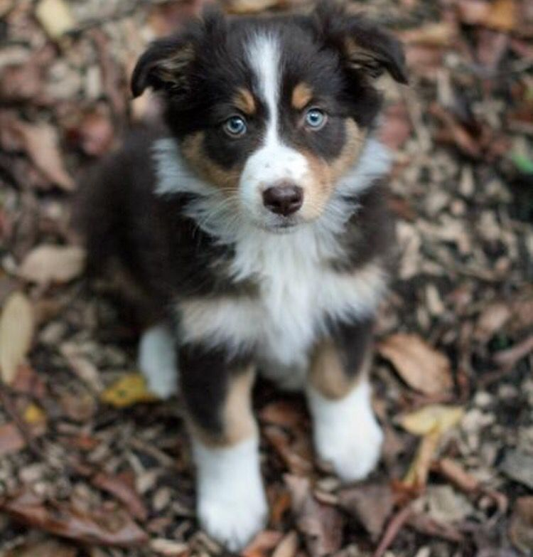 Australian shepherd husky mix Pups Pinterest