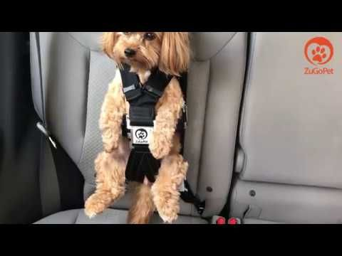 1 How To Place Your Dog In The Rocketeer Pack Car Seat By ZuGoPet