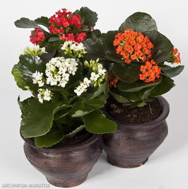 Kwiaty Doniczkowe Kwitnace Zima Zdjecia Kwiatow Kalanchoe Blossfeldiana Plants Flowers