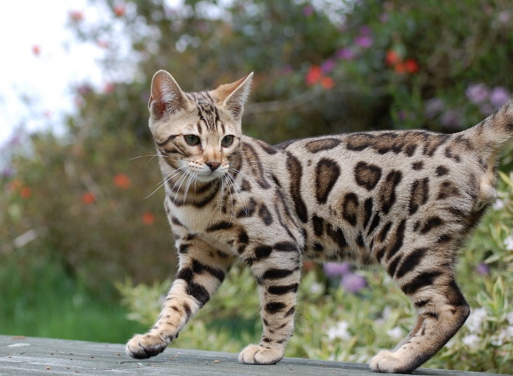 Here is where to get bengal cats for sale, male bengal