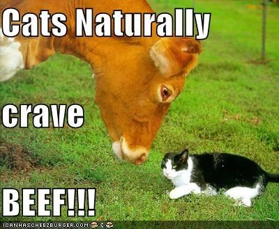 cats naturally crave beef with images  pet cows cat