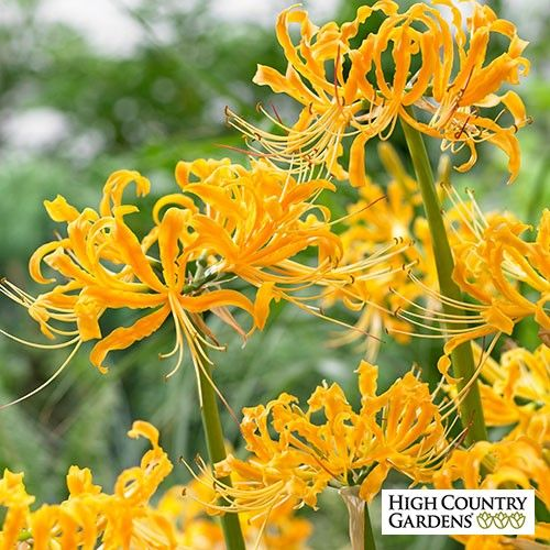 Yellow spider lily blooms in late summer with showy yellow flowers yellow spider lily blooms in late summer with showy yellow flowers on sturdy stems before the mightylinksfo