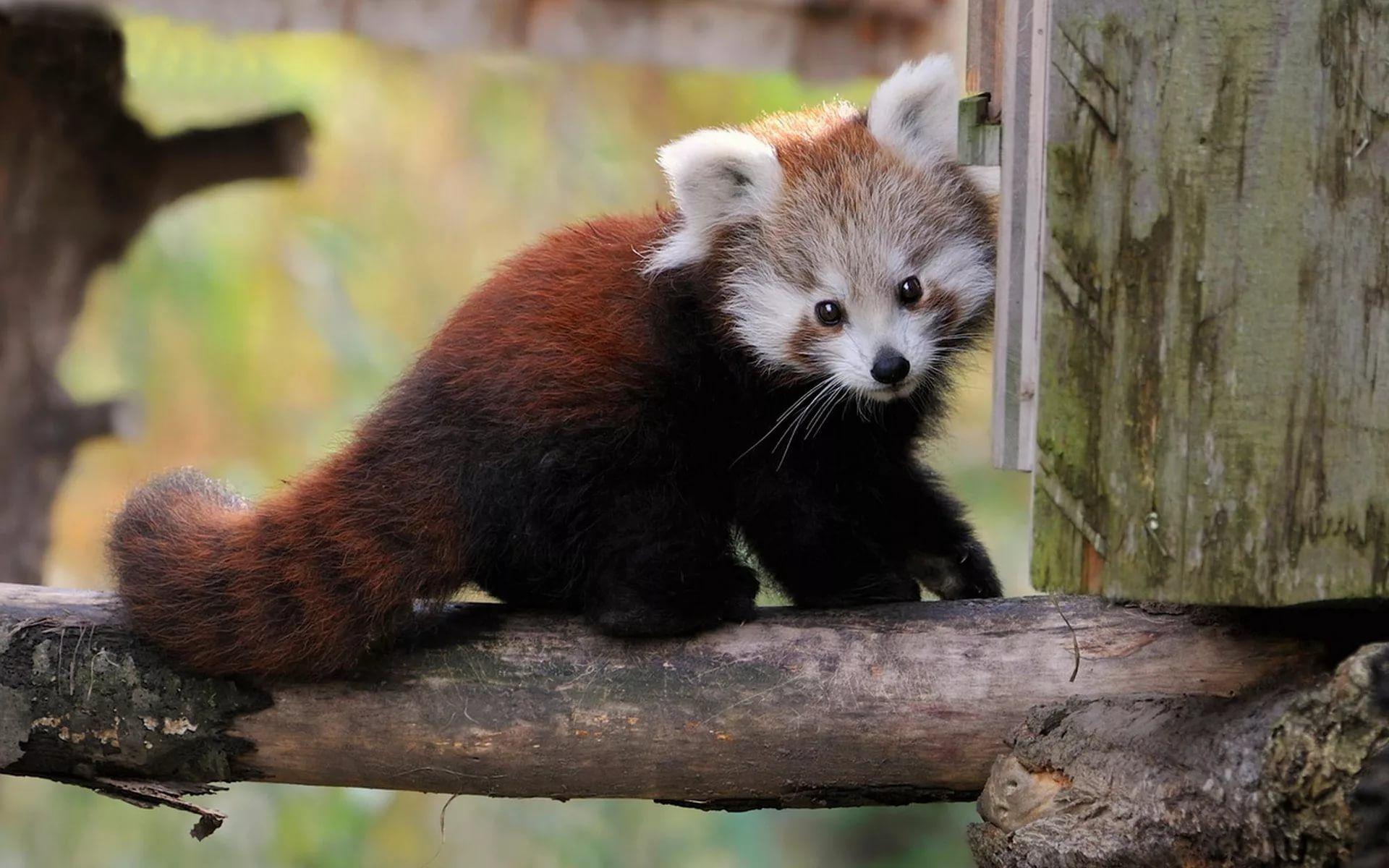 маленькая красная панда детеныш: 7 тыс изображений найдено ...