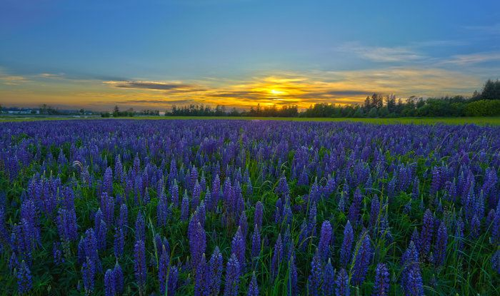 Lupine Sunset By Tyler Barnes On With Images Southwest