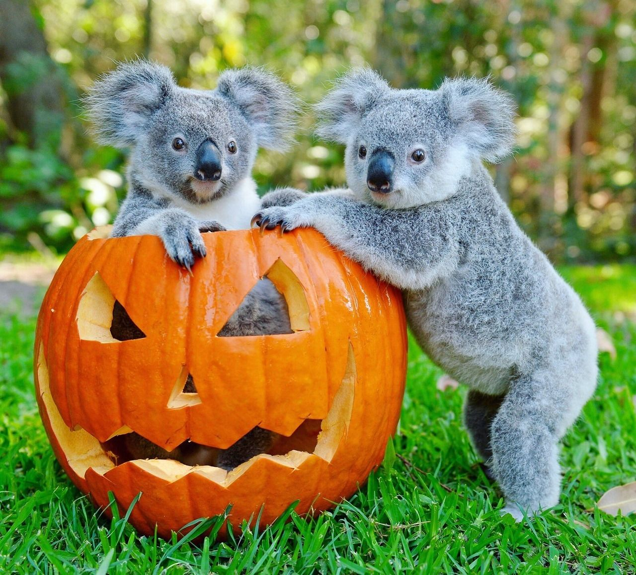 Pin by Trish Tinsley on koala Koala bear, Koala, Animals