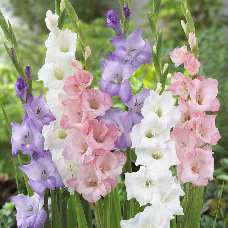 Tips For Growing Gladiolus Add Height To Your Flower Garden With Gladiolus These Gardening Tips For Gr Flower Garden Care Beautiful Flowers Garden Gladiolus
