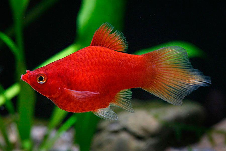 Coral Red Pintail Platy Platy Fish Aquarium Fish Fish
