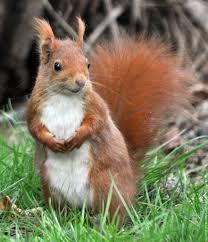"""Résultat de recherche d'images pour """"ecureuil roux"""""""