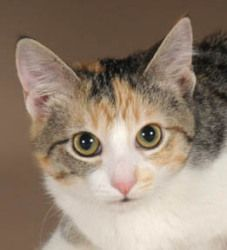 Pebbles Is An Adoptable Calico Cat In Chicago Il Pebbles Is A Beautiful Sweet Shy And Gentle One Year Old Female Calico Tabb Tabby Kitten Tabby Fur Kids