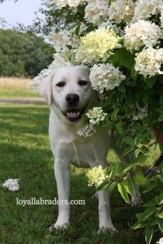 White Lab Puppy For Sale Loyal Labradors English White Lab Puppies White Lab Puppies White Labrador Puppy Lab Puppies