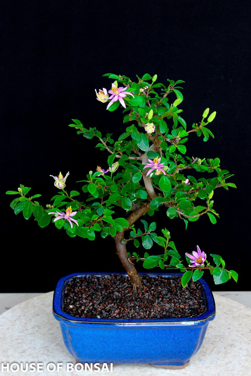Lavender Star Flower Bonsai Tree In Ceramic Pot Bonsai Tree Bonsai Tree Care Indoor Bonsai Tree