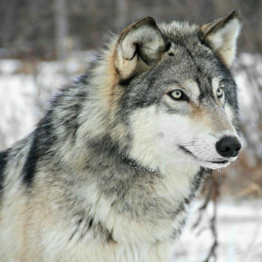 Top 10 animais favoritos C71933311cbf9e81a633340546bf2a0d