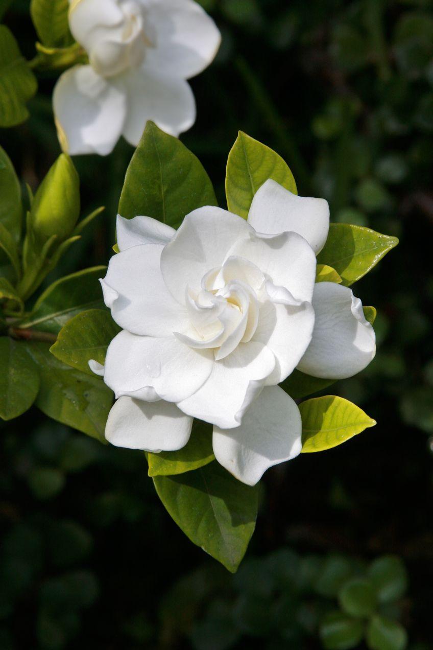 Gardenia Augusta Florida En 2020 Flores Blancas Arbusto De Gardenia Flores Exoticas