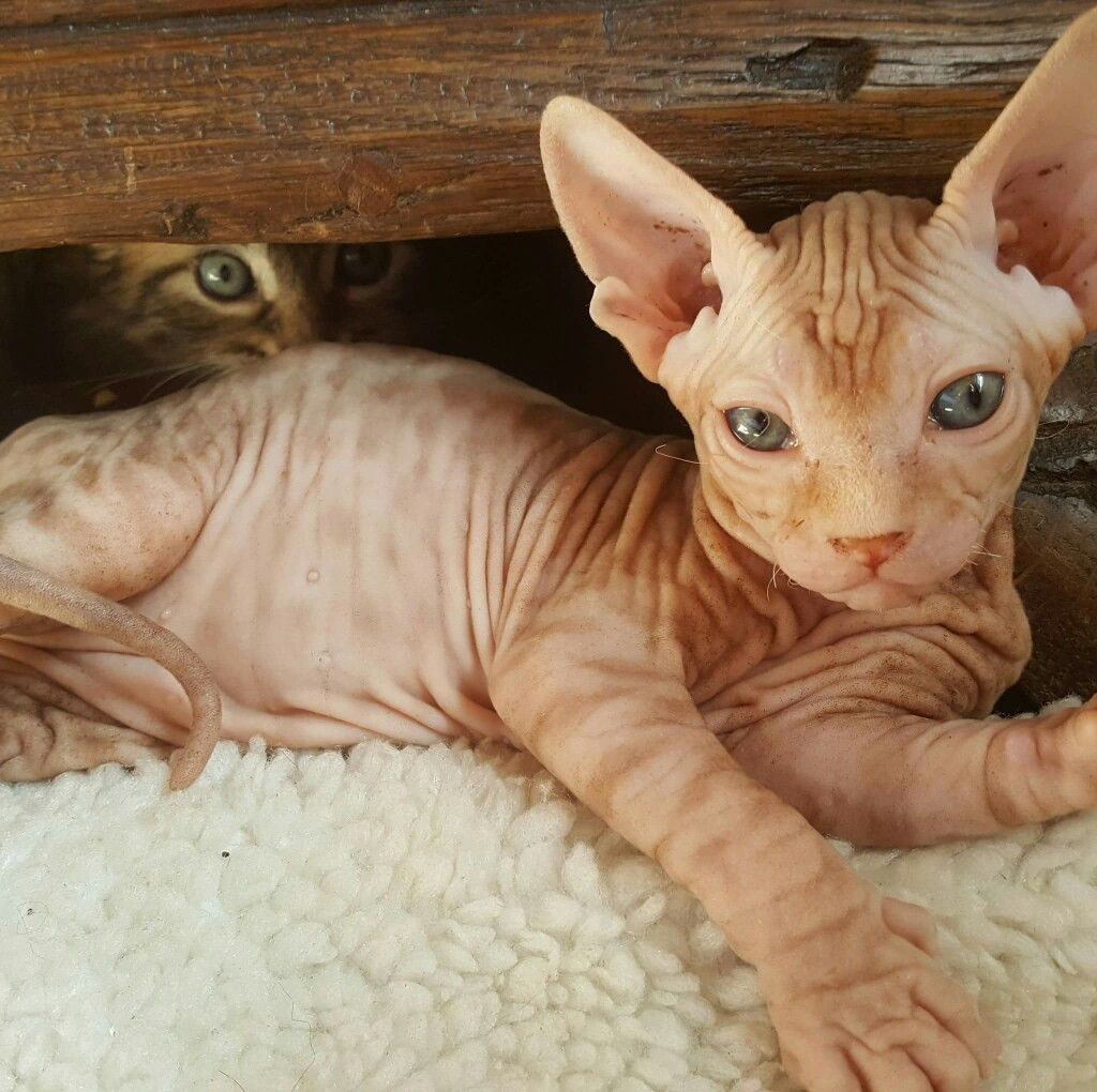 Pin By Hannah Power On Sphynx Bambino Sphynx Cat Sphinx Cat Cats And Kittens