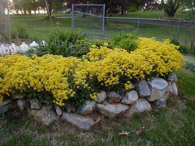 Alyssum Basket of Gold | Landscaping & Garden | Pinterest | Gardens