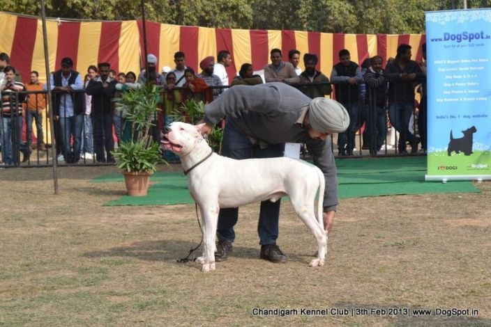 Dogo Argentino Stacking In Chandigarh Dog Show Dog Show Dog