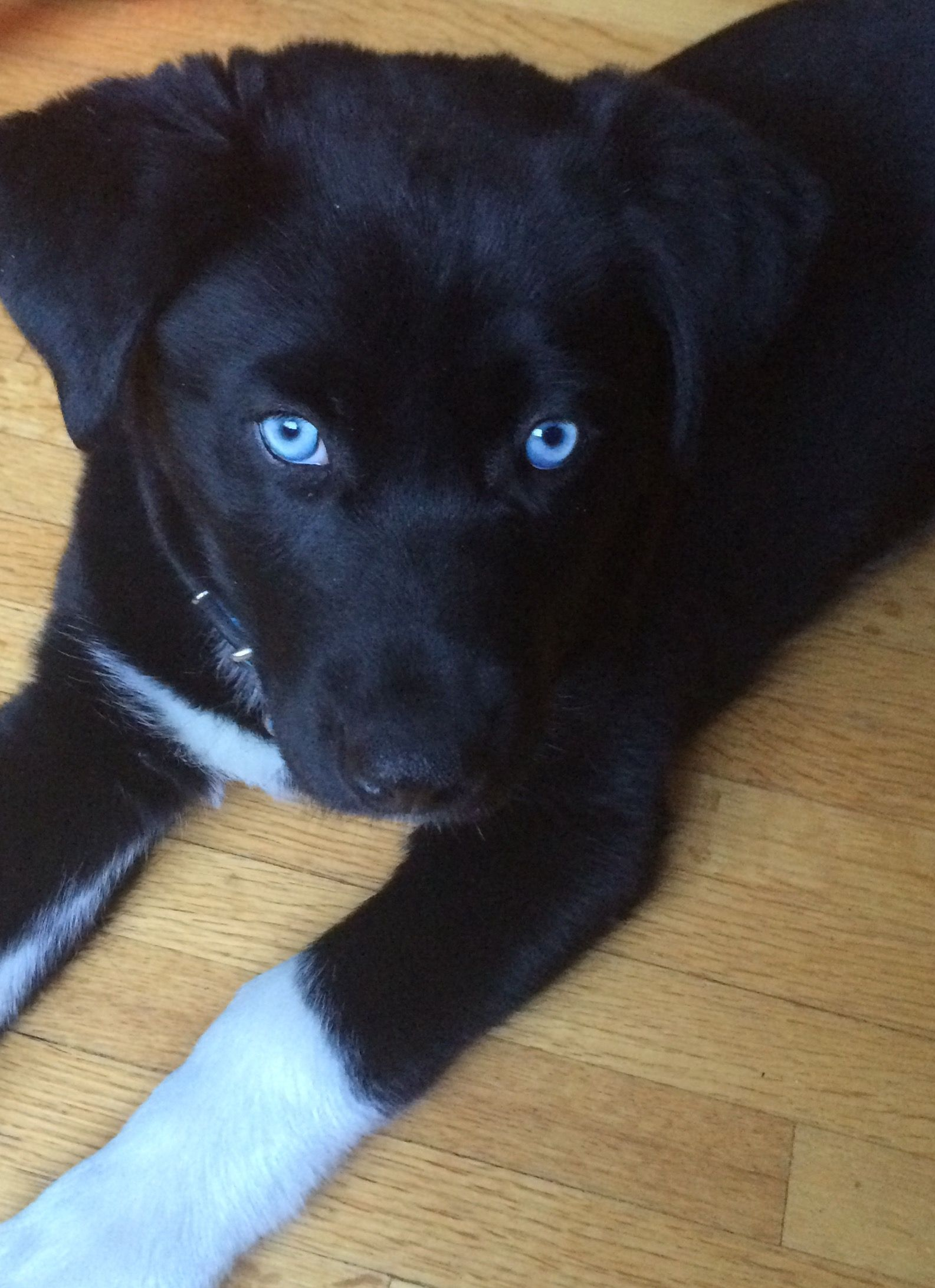 10 Week Old Siberian Retriever Huskador His Name Is Indigo Cute Dogs And Puppies Mixed Breed Dogs Black Lab Puppies