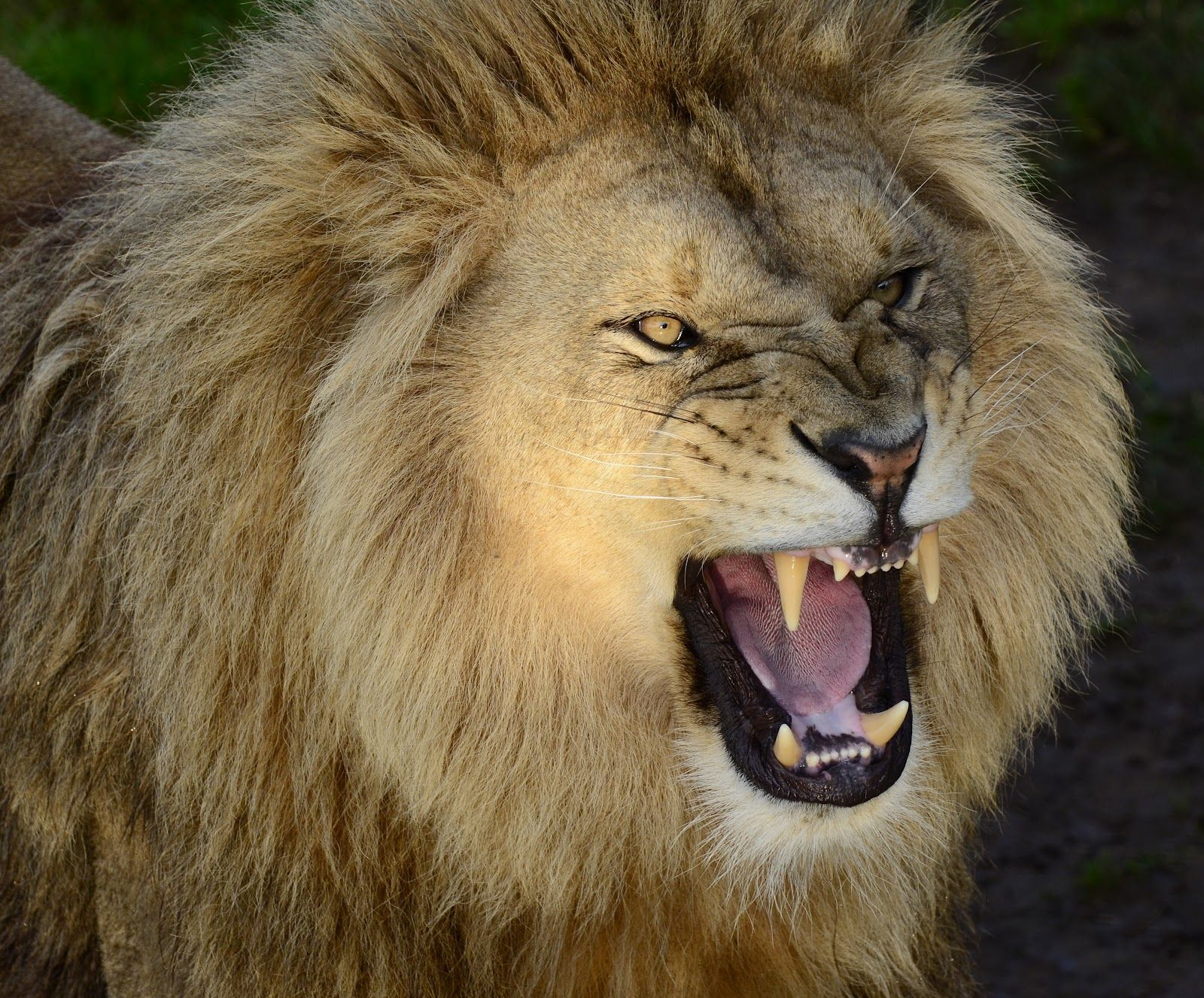 Pix For > Lion Roar | Lion tattoo ideas | Pinterest ...