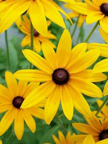Black Eyed Susans Maryland State Flower Black Eyed Susan Yellow Flowers Garden Shrubs