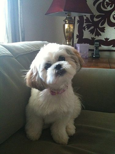 So Stinkin Cute 2 Lhasa Apso Cute Cats Dogs Cute Dogs