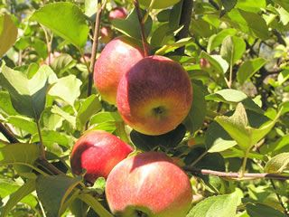 Heirloom Fruit Trees For Home Farm Trees Of Antiquity Rooted Organic Apple Tree Fruit Tree Nursery Fruit Garden