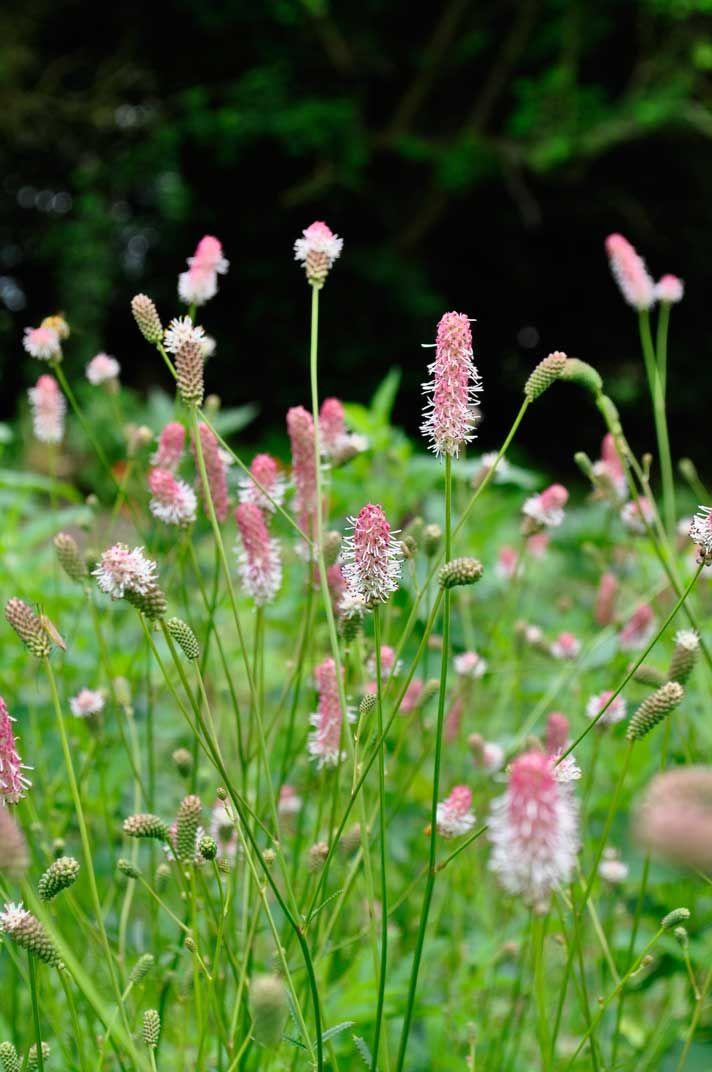 Sanguisorba Officinalis Pink Tanna I Really Like This Low