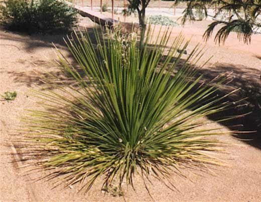 Desert Spoon Plant Lists 187 Shrubs 187 Green Desert Spoon Landscape