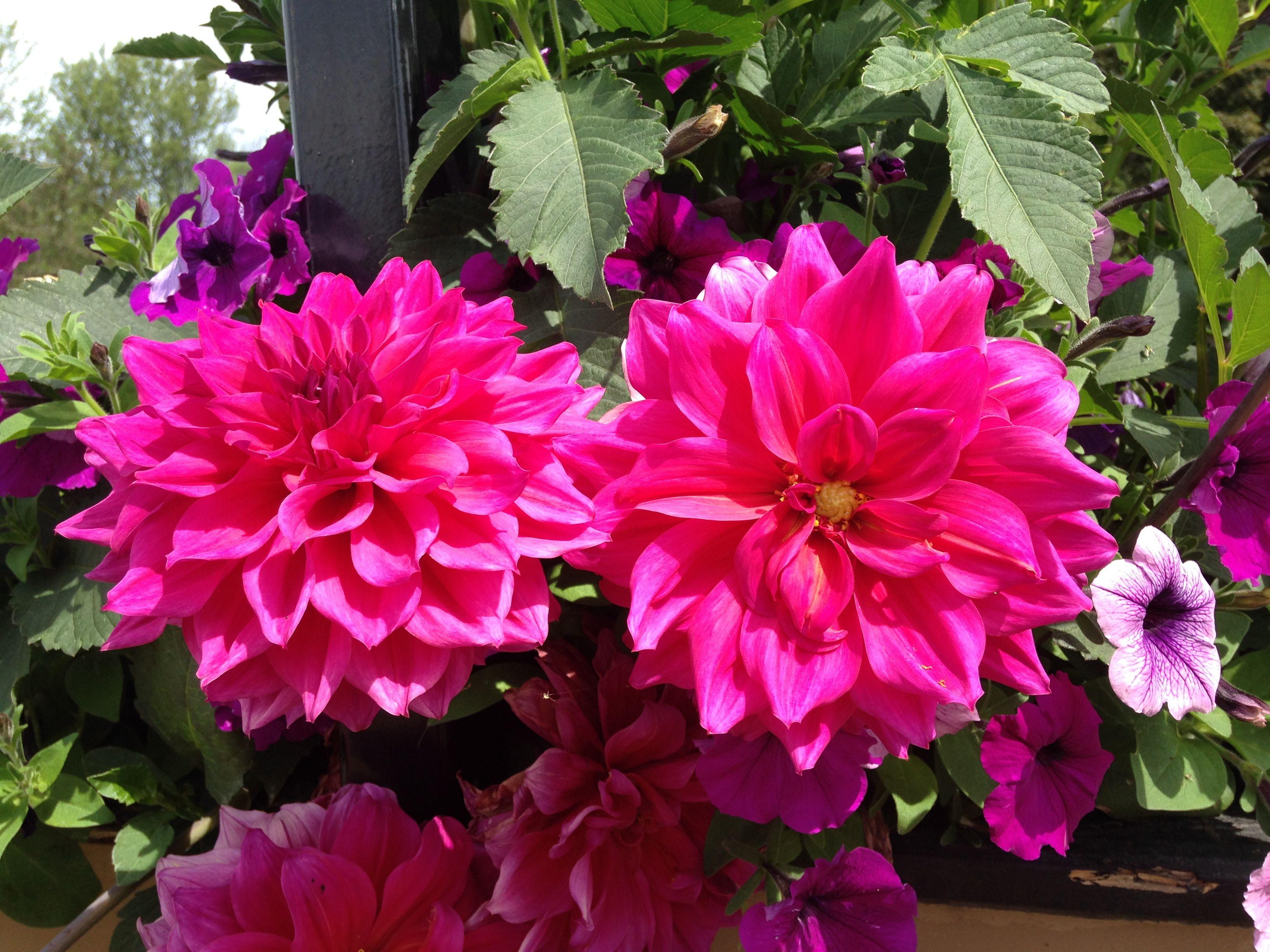 Dahlias a perennial flower blooming midsummer to the