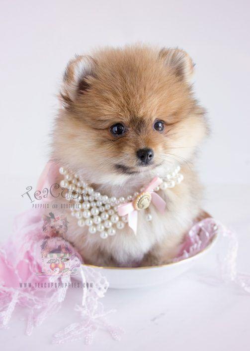 Beautiful Pomeranian Puppy Pomeranian Puppy For Sale Pomeranian