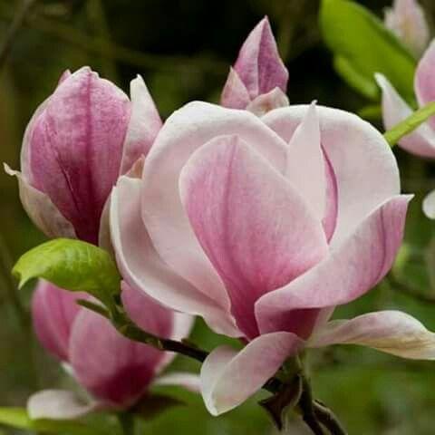 Pink Magnolia So Beautiful Magnolia Flower Flowers Love Flowers