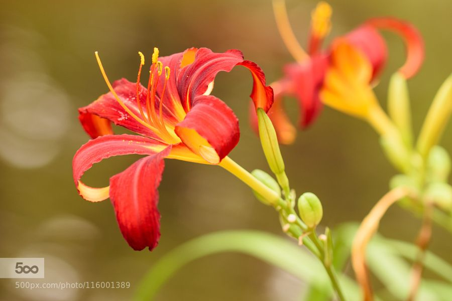 Lily in red by WiSt. Please Like http://fb.me/go4photos and Follow @go4fotos Thank You. :-)