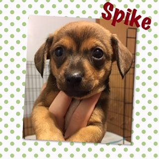 Chiweenie Dog For Adoption In Genoa City Wi Adn 646177 On