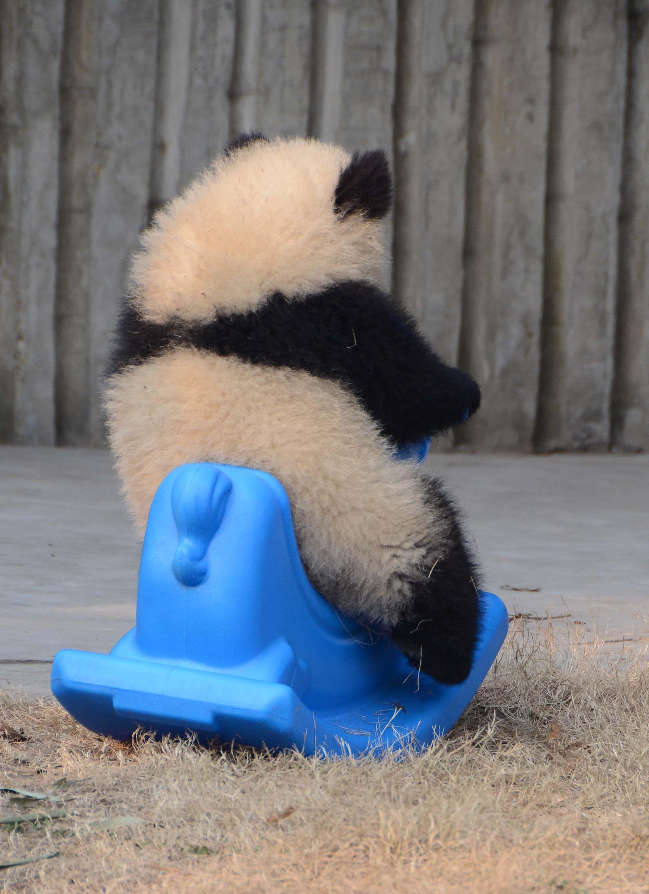 Baby panda in Cheng Du - taken by Trudi Convey #babypandas