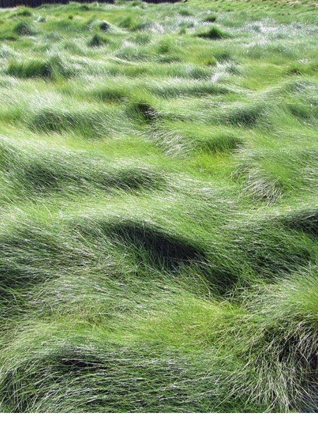 Creeping Red Fescue Lawn Feig Landscape Pinterest