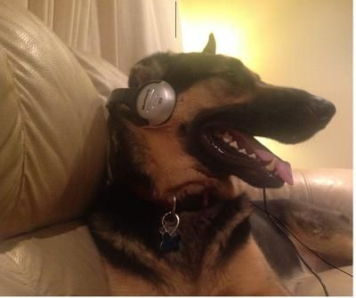 German Shepherds Love Listening To Classical Music I Love Dogs