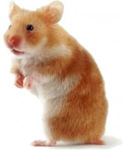 Teddy Bear Hamsters Cutest Rodents Ever Dieren Hamster