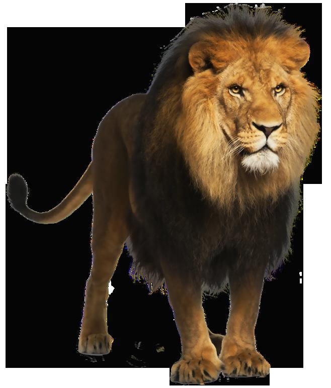 Lion Png Picture Lion Images Panthera Leo Lion Wallpaper