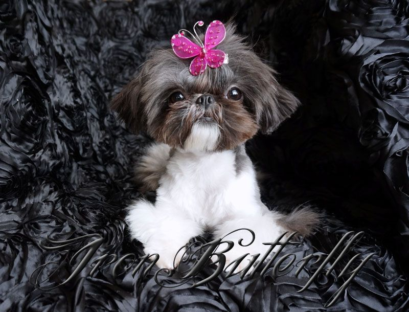 Quality Chinese Imperial Shih Tzu And Tiny Teacup Puppies For Sale