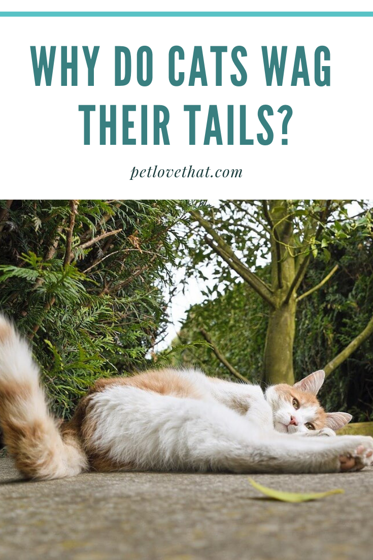 In Contrast To How Dogs Wag Their Tails Because They Re Happy A Cat Wagging Its Tail Is The Very Opposite Cats And Dogs Cat Questions Cats Cat Communication