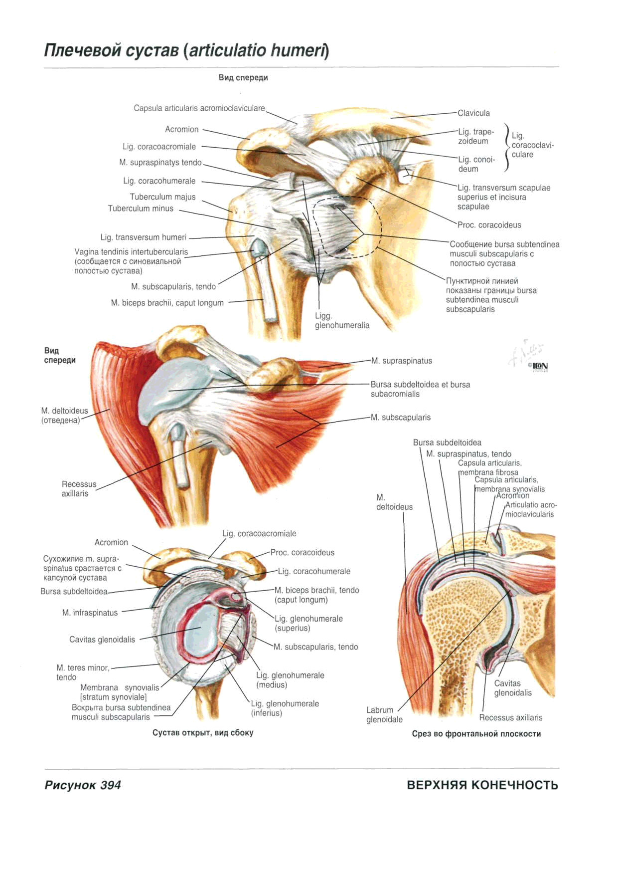 Excelente Subdeltoidea Bursa Galería - Anatomía de Las Imágenesdel ...