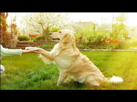 How To Teach A Dog To Shake Hands Dog Shaking Dogs Dog