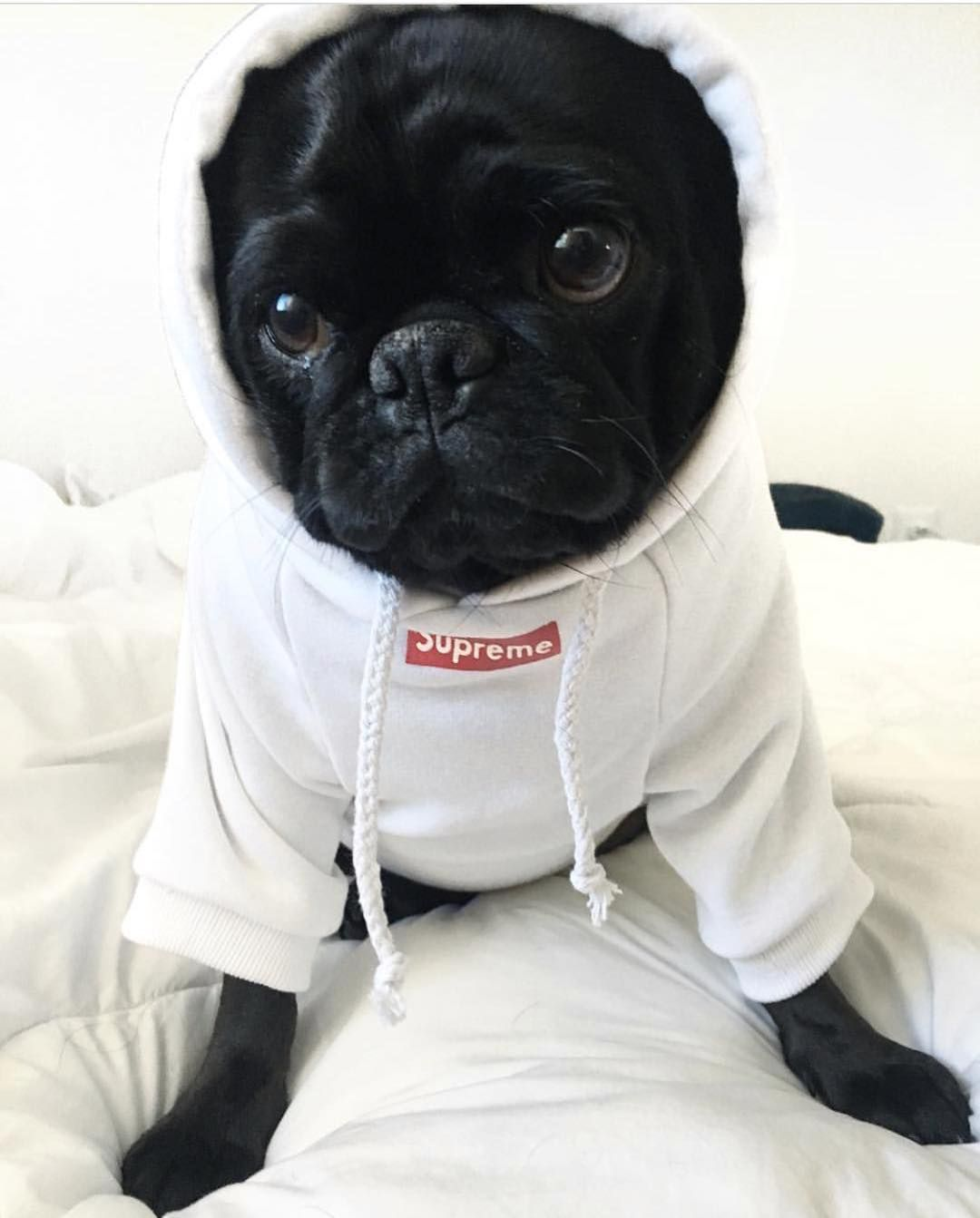 0b2270d5d Just living the pug life Photo by @mdmathepug Want to be featured on our  Instagram? Tag your photos with #thepugdiary for your chance to be featured.