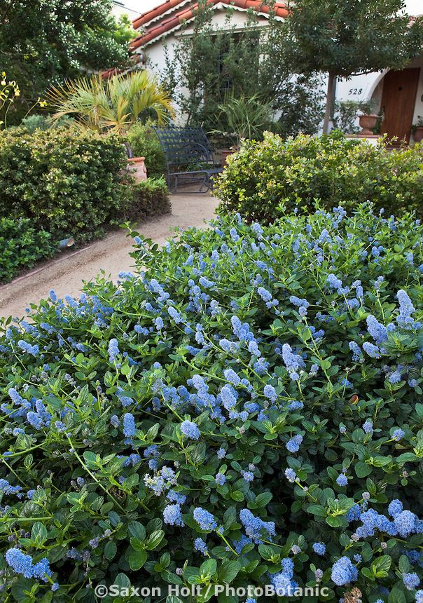 Blue Flowering California Lilac Ceanothus Groundcover By Entry