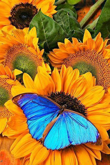 flowersgardenlove:  Blue Butterfly On Su Beautiful gorgeous pretty flowers