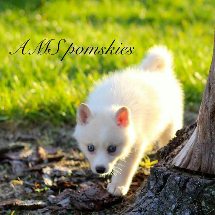 AMS pomskies Pomsky, Pomsky puppies for sale, Puppies