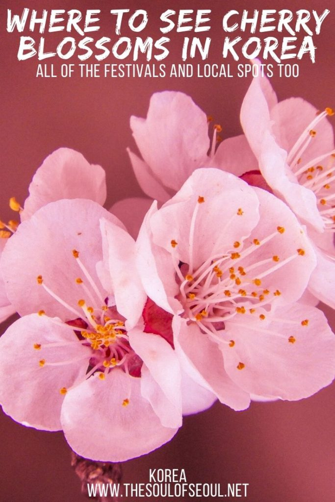 Where To See Cherry Blossoms In Korea 2020