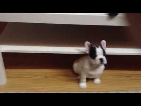 Frenchie Charge!